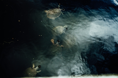 A large bail of turtles emerging from the murky lake water