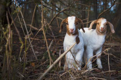 Two adorable, cute brown and white baby goats in forest
