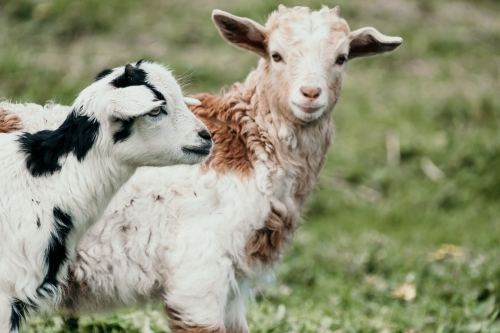 Two baby goats in a paddock.