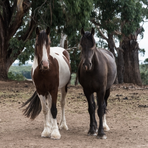 two beautiful horses standing together facing the camera