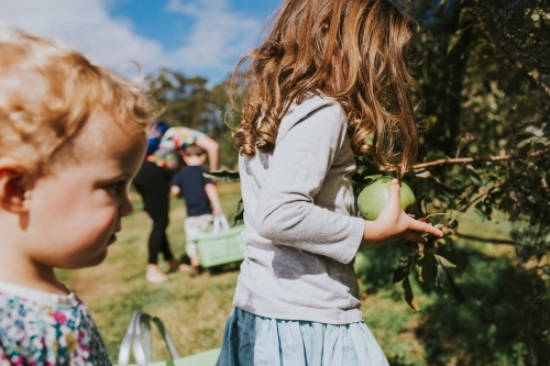 Two children picking granny smith apples at the farm