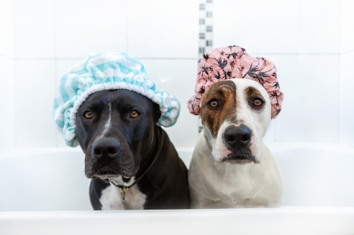 Two dogs in a bathtub with showercaps