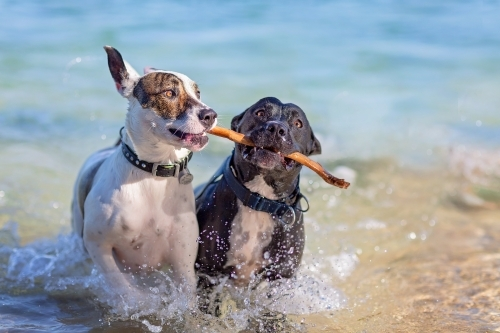 Two dogs, one stick