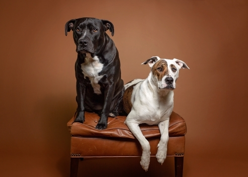 two dogs sitting on a leather ottoman