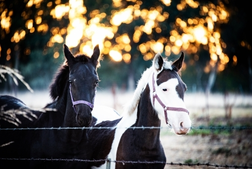 Two horses behind a fence with the golden sunrise rays behind them.
