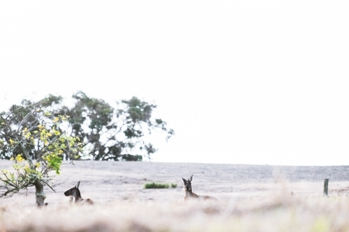 Two kangaroos in a field half hidden by foreground with one looking at the camera
