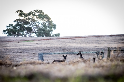 Two Kangaroos in an open field with one looking at the camera