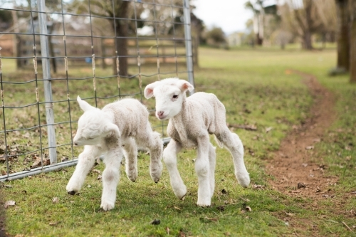 Two lambs running through fence