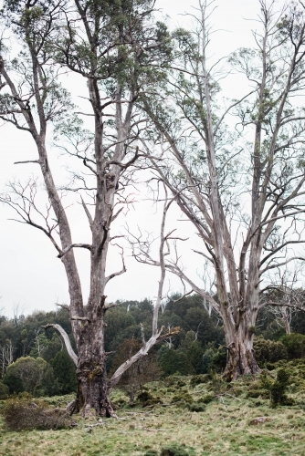 Two large trees in front of bushland