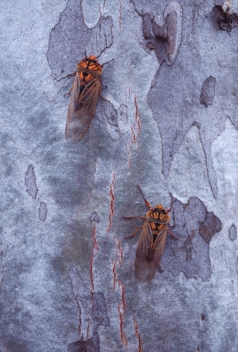 Two Masked Devil Cicadas on Scribbly Gum bark