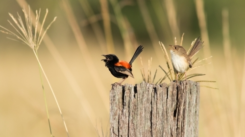 Two Red-backed Fairy-wrens on a tree stump