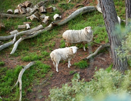 Two Sheep on a Hill