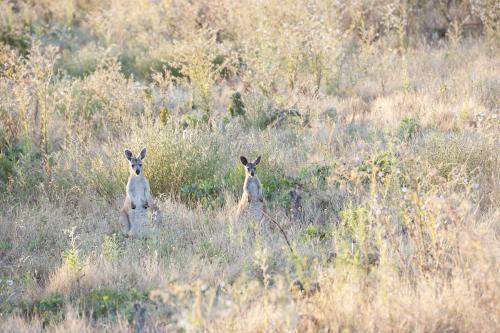 Two sitting kangaroos in dry bushland looking forward