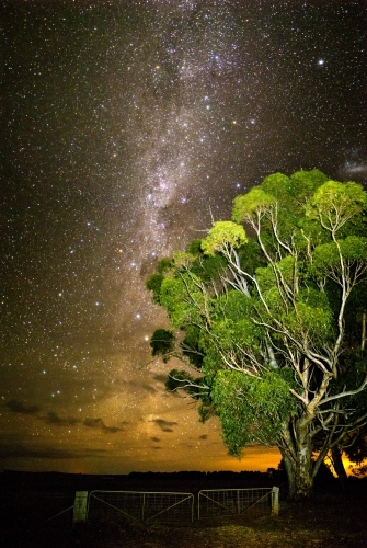 Gum tree in front of Milky Way rising above clouds vertical