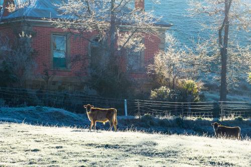 Cows in the frost in front of a farmhouse