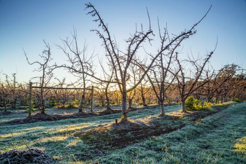 Empty fruit trees on a frosty winters morning