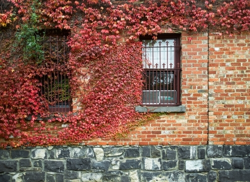 Vines growing over a heritage brick and bluestone building