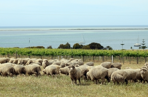 Vineyard by the sea with flock of sheep in foreground.