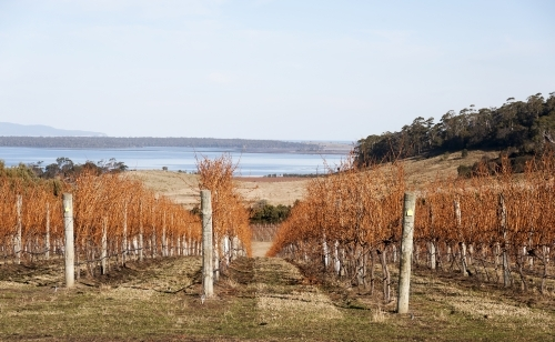 Deciduous grape vines in a vineyard with country and water views