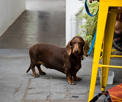 Waiting Dachshund by a Yellow Stool