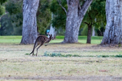 Wallaby bounding across green clearing near a golf course at dusk