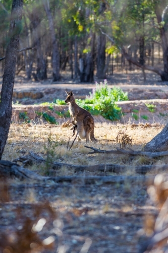 Wallaby with joey in her pouch enjoying the early morning in the bush