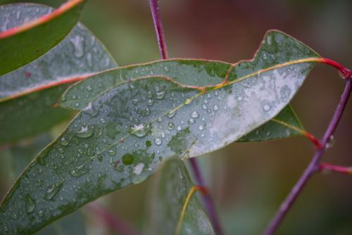Water drops on eucalyptus gum leaf