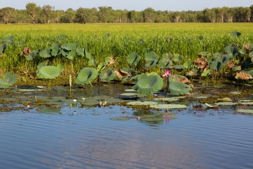 waterlilies at a wetland at kakadu