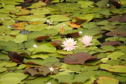 Waterlilies in a pond