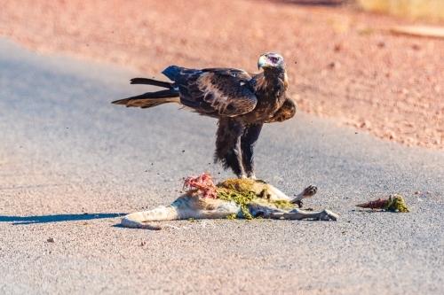 Wedge tailed eagle eating road kill
