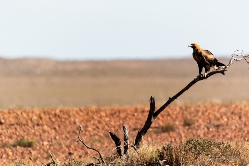Wedge-tailed eagle on branch in outback