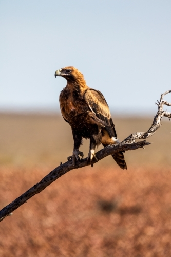 Wedge-tailed eagle on dead branch