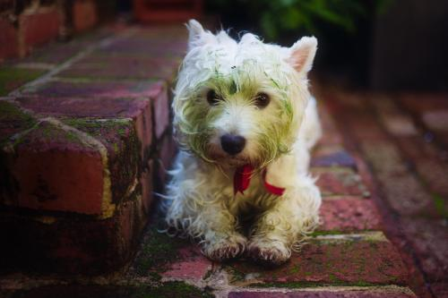 West highland terrier with a green face after discovering fresh cut lawn at the park