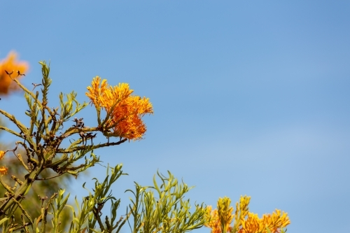 Western Australian Christmas tree flowers on tree with blue sky