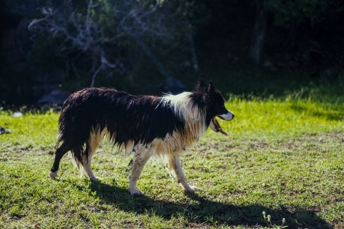Wet Border collie walking on grass covered in prickles