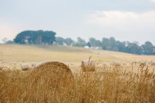 Wheat harvested in a field