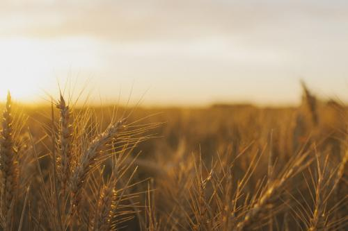 Wheat stalks shining in the fields at sunset