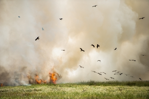 Whistling and Black Kites catching insects fleeing from bushfire