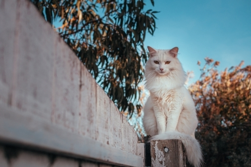 White Cat Sitting on an Old White Fence