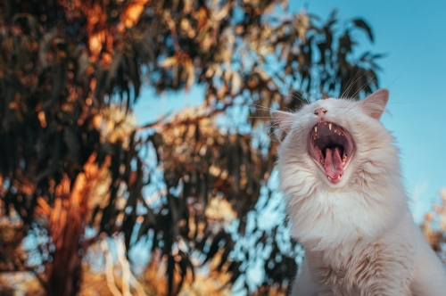 White Cat Yawning and Showing It's Teeth
