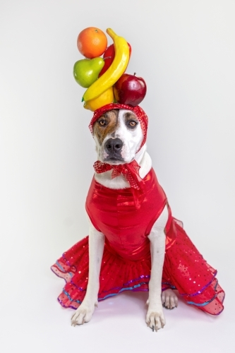 White dog dressed as Carman Miranda
