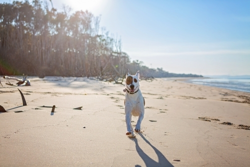 White dog running along remote beach in Queensland