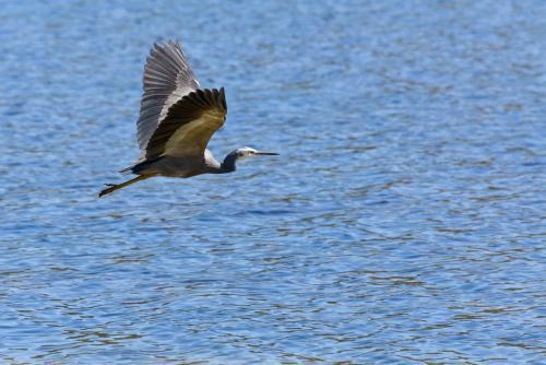 White-faced Heron flying over blue water