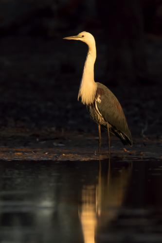 White-necked Heron in Golden Light at Edge of Billabong