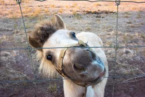 White shetland pony pushing head through wire fence.