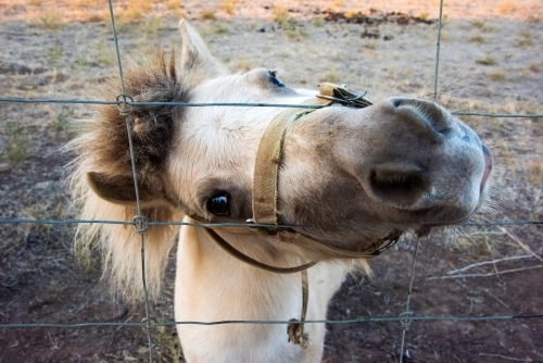 White shetland pony pushing head through wire fence while looking at camera.