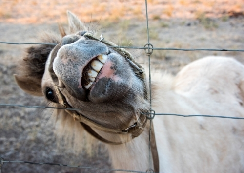 White shetland pony pushing head through wire fence while showing teeth to the camera.