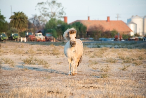 White shetland pony running toward camera in the early morning.