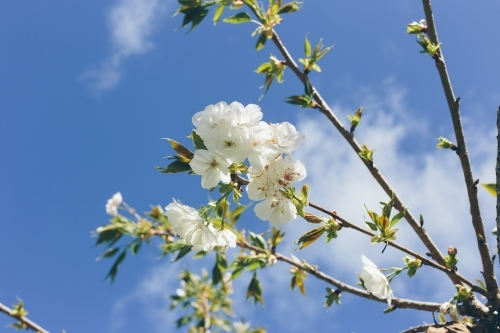 White spring blossoms on a thin branch with blue sky and white cloud in the background