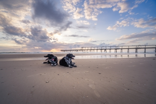 Wide angle view of two dogs resting on beach at sunrise